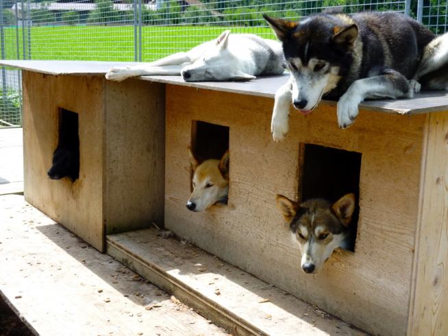 Ein Bild zum Beitrag Erlebnis im Husky Lager !!!!
