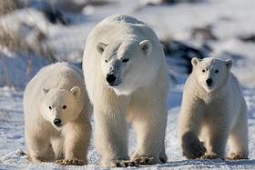 Ein Bild zum Beitrag Die Arktis/schützten und spenden