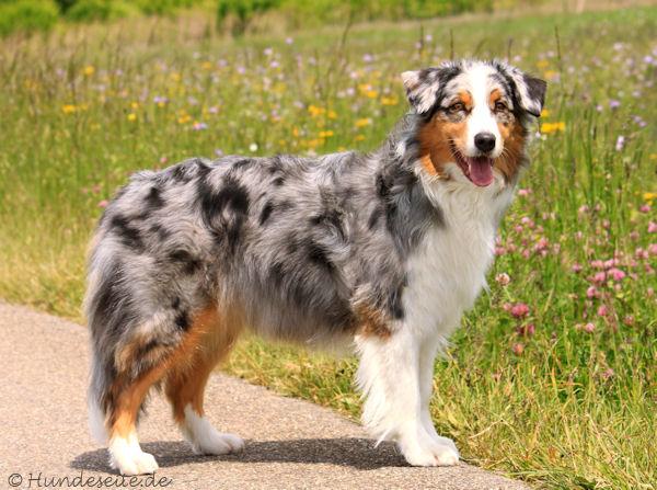 Ein Bild zum Beitrag Austrailian Shepert(Hund)