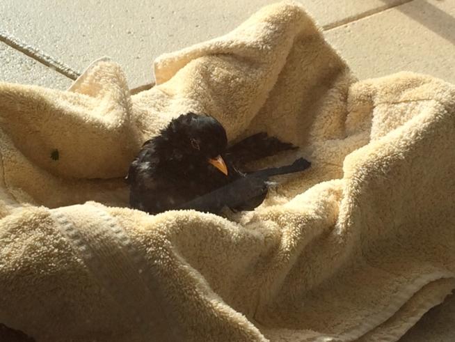 Ein Bild zum Beitrag Bilder zu: Krähe greift Amsel an. Amsel ist bei uns und wir hoffen, dass sie überlebt.